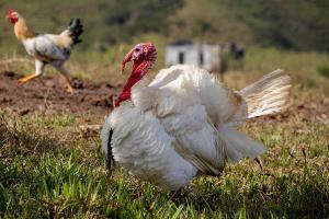 Organic  turkeys growth feed